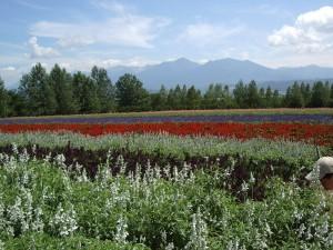 hokkaido-lavender-blommor